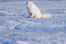 Closeup Wildlife White Polar Fox Winter In The Arctic Svalbard On A Sunny Day