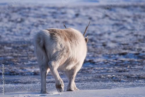 Landscape with wild reindeer Poster