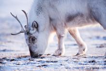 Landscape With Wild Reindeer. ...