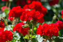Red Geranium Flowers In Sunny Garden Close Up