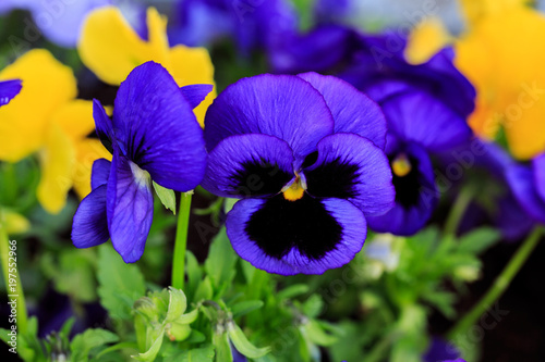 Spoed Foto op Canvas Pansies Viola cornuta, tufted pansy. Colorful flowers of violets