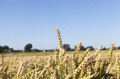 Fotografia, Obraz  almost ripe wheat