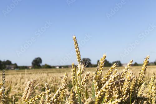 Fényképezés  almost ripe wheat