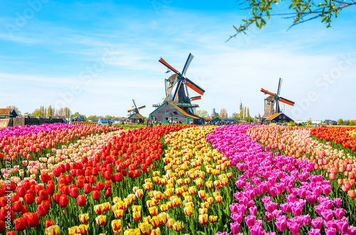 Tuinposter Tulp Landscape with tulips, traditional dutch windmills and houses near the canal in Zaanse Schans, Netherlands, Europe