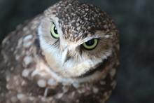 Portrait Of A Burrowing Owl / ...