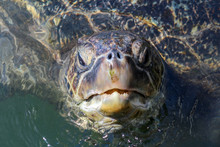 A Turtle Breathing On The Wate...