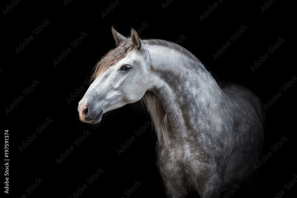 Fototapeta Portrait of beautiful grey andalusian horse isolated on black