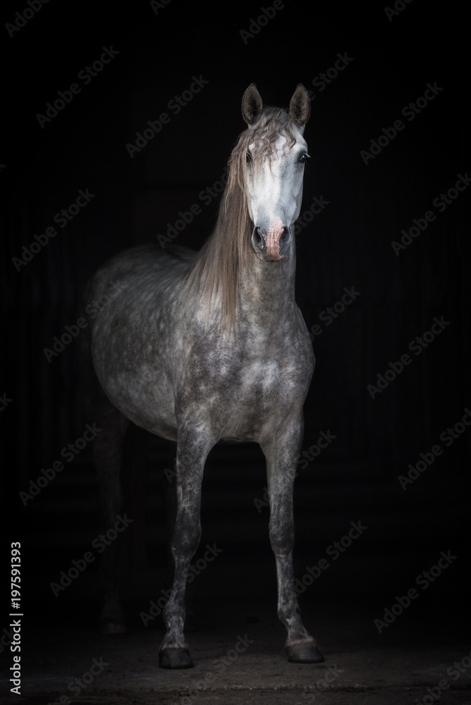 Fototapeta Beautiful grey andalusian horse isolated on black