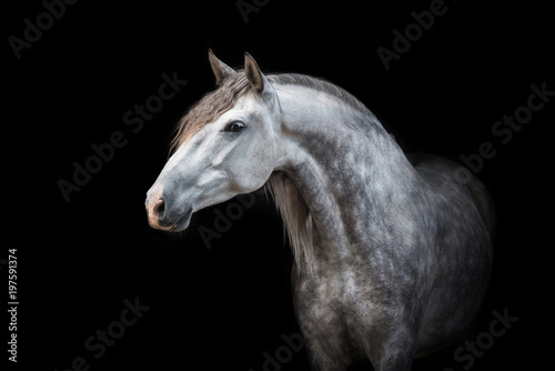 Portrait of beautiful grey andalusian horse isolated on black