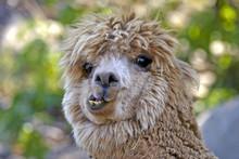 Lama Funny Hair Wild Locking A...