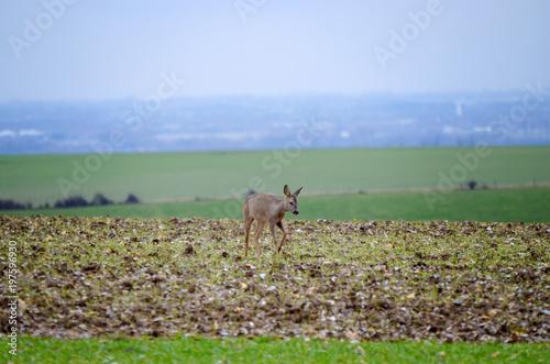 Foto op Canvas Ree chevreuil dans la campagne