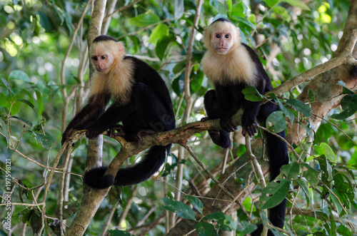 Photo  Zwei Kapuzineraffen sitzen auf eim Ast, Costa Rica