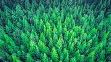 Aerial View On The Redwood Whakarewarewa Forest. Rotorua, New Zealand