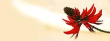 Fleur Erythrina Rouge Sur Fond...
