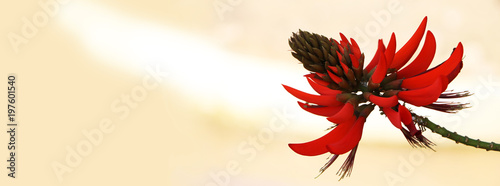 Cadres-photo bureau Fleuriste Fleur Erythrina rouge sur fond beige