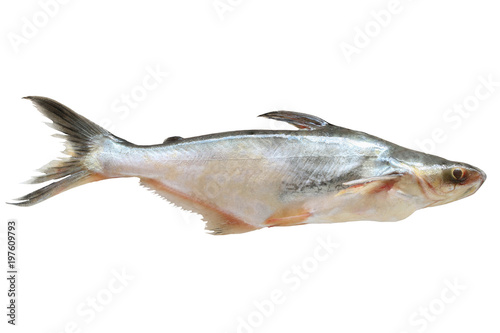 Iridescent shark, Striped catfish, Sutchi catfish , (Science name : Pangasianodon hypophthalmus) isolated on white background with clipping path..