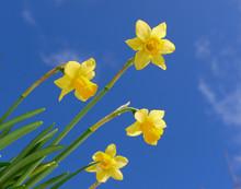 Gelbe Osterglocken Auf Blauem Himmel Hintergrund