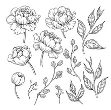 Peony Flower And Leaves Drawin...