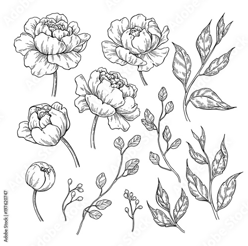 Peony flower and leaves drawing. Vector hand drawn engraved flor Wall mural