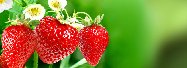 Fototapetagardening strawberries harvest.sweet nature