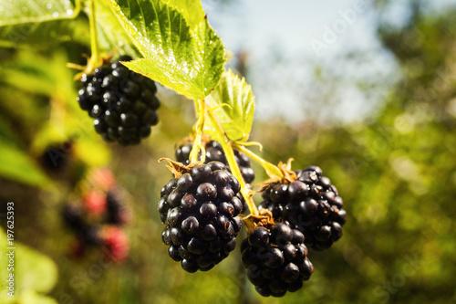 Valokuva  Fresh organic blackberries growing in a garden. Fruit concept