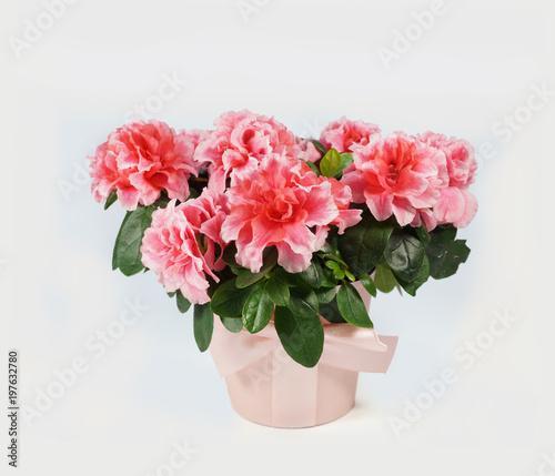 Deurstickers Azalea Fully bloomed azalea in a pink fabric flower pot on a white background