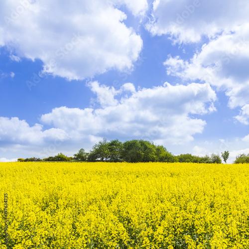 Foto op Aluminium Oranje Spring countryside of yellow rapeseed fields in bloom