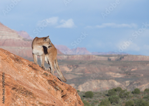 Photo Cougar standing on red sandstone ledge looking over it's shoulder towards the ri