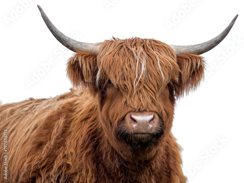 Photo Stands Cow Highland cow on a white background