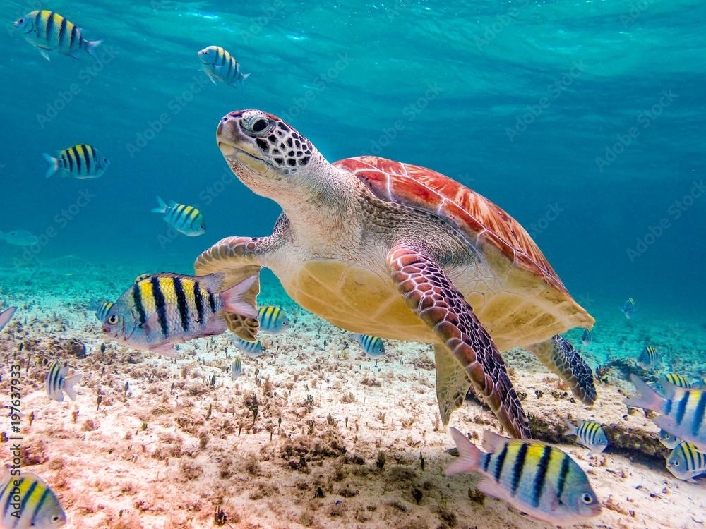 Fototapeta swimming turtle