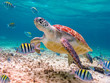 canvas print picture - swimming turtle