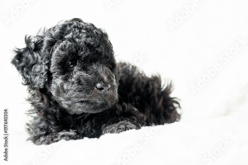 Deurstickers Franse bulldog black puppy is lying on a white blanket