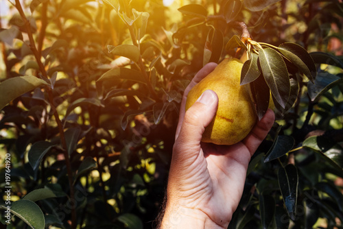 Farmer examining pear fruit grown in organic garden