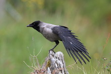 Grey Crow , Hooded Crow, Corvus Corone Cornix Norway