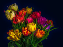 Fine Art Floral Still Life Flower Macro Of A Flowering Tulip Blossom Bouquet/bunch On Dark Blue Background In Vivid Glowing Colors, Red, Pink, Violet, Yellow And Green Leaves