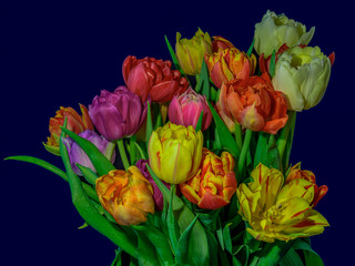 FototapetaFine art floral still life flower macro of a flowering tulip blossom bouquet/bunch on blue background in vivid natural colors, red, pink, violet, yellow and green leaves
