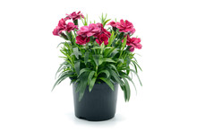Purple Pink Dianthus Flower In...