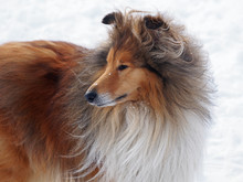 Portrait Of  The Rough Collie ...