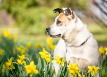 A Mixed Breed Dog Outdoors In The Springtime Surrounded By Daffodils