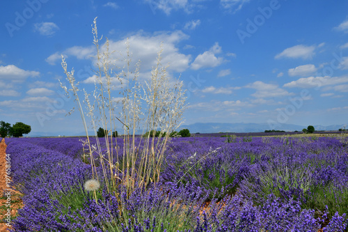 Fotobehang Lavendel Herbacées dans un champs de lavande