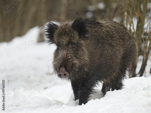 Leinwand Poster wild boar