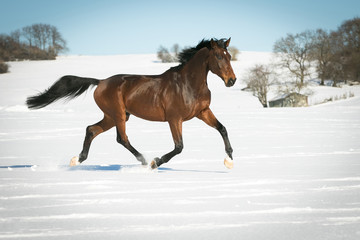 Horse running free, galloping and trotting in the sunshine, in the snow in a pasture.