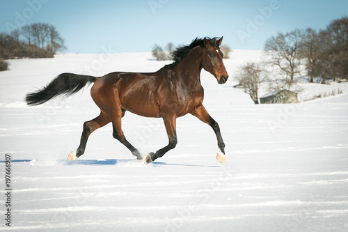 Valokuvatapetti Horse running free, galloping and trotting in the sunshine, in the snow in a pasture