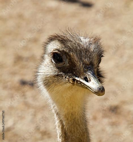 Staande foto Struisvogel Portrait eines Strauß, Emu, Nandu