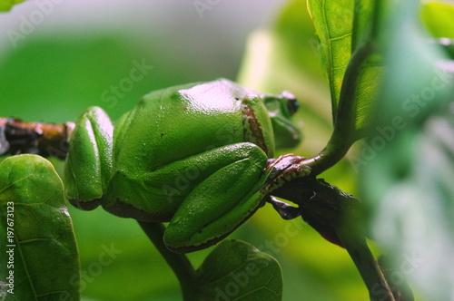 Fotografie, Obraz  zielona żaba na gałęzi