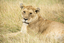 Portrait Of Lioness Lying On Grassy Field