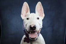 Portrait Of Dog Panting While ...