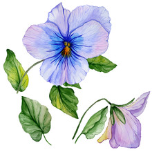 Beautiful Botanic Set (blue And Purple Viola Flowers And Leaves). Colorful Violet Flower And Green Leaves Isolated On White Background. Watercolor Painting.
