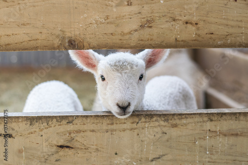 baby lamb looking through fence Wallpaper Mural