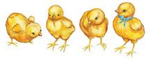 Set Of Chicks. Watercolor Illu...